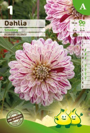 Dahlia 'Smokey' - Dahlia