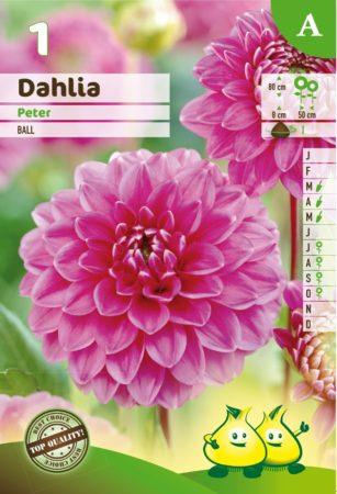 Dahlia 'Peter' - Dahlia