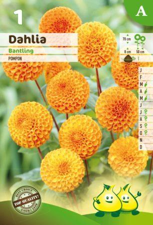 Dahlia 'Bantling' - Dahlia