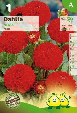 Dahlia 'Nescio' - Dahlia