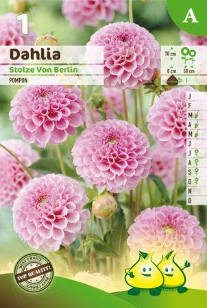 Dahlia 'Stolze Von Berlin' - Dahlia