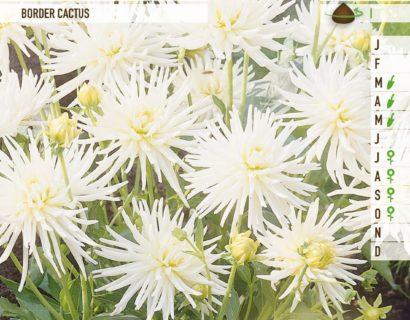 Dahlia border cactus wit - Dahlia