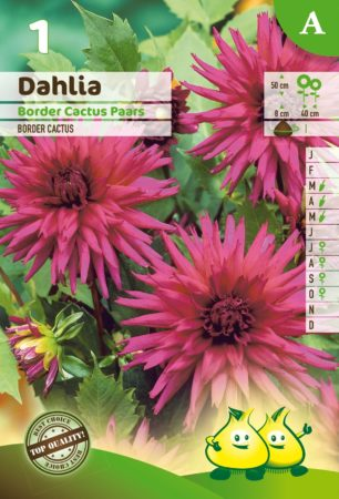 Dahlia border cactus paars - Dahlia