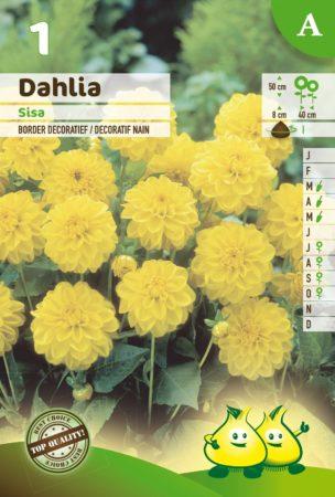 Dahlia 'Sisa' - Dahlia