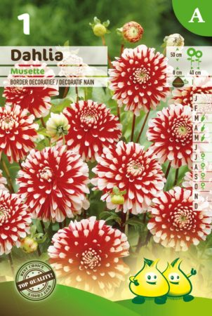 Dahlia 'Musette' - Dahlia