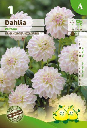 Dahlia 'Wittem' - Dahlia