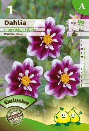 Dahlia mignon 'Impression Fabula' - Dahlia