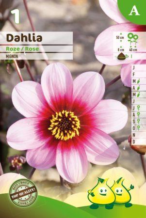 Dahlia mignon roze - Dahlia