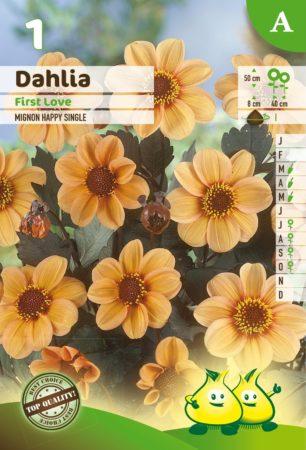 Dahlia mignon 'First Love' - Dahlia