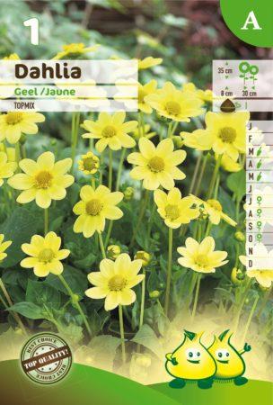 Dahlia topmix geel - Dahlia