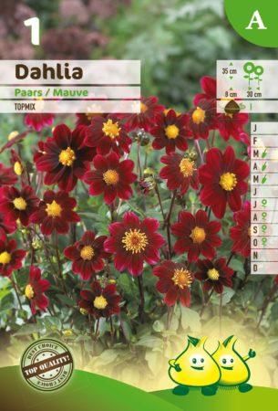 Dahlia topmix paars - Dahlia