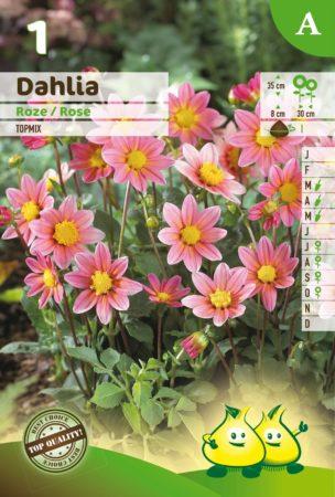 Dahlia topmix roze - Dahlia