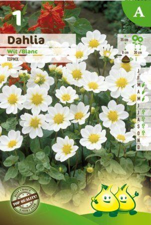 Dahlia topmix wit - Dahlia