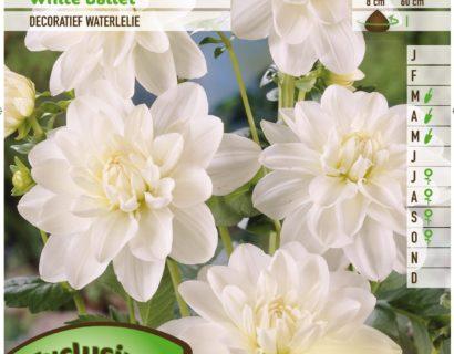 Dahlia 'White Ballet' - Waterlelie