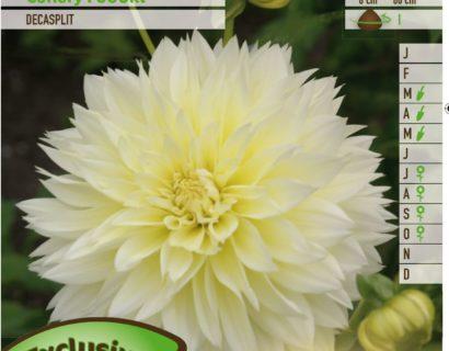 Dahlia 'Canary Fubuki' - Dahlia