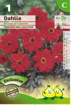 Dahlia 'Bischop of Llandaff' - Pioenbloemige Dahlia