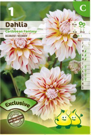 Dahlia 'Caribbean Fantasy' - Dahlia