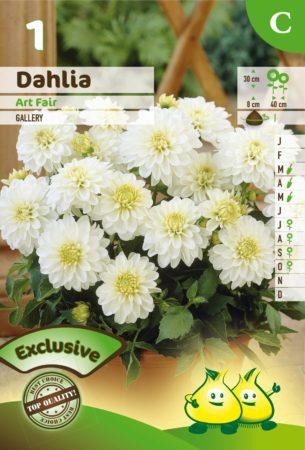 Dahlia 'Art Fair' - Dahlia