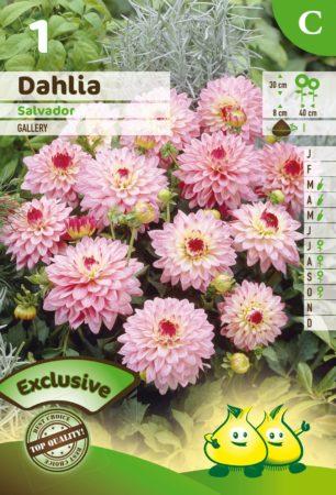 Dahlia 'Salvador' - Dahlia