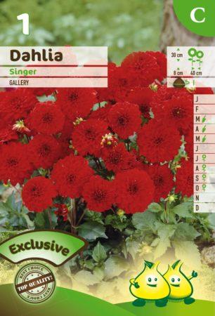 Dahlia 'Singer' - Dahlia