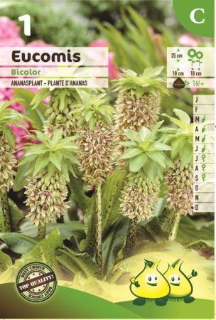 Eucomis bicolor - Ananasplant