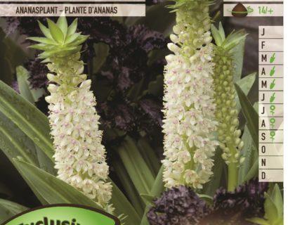 Eucomis autumnalis 'Alba' - Ananasplant