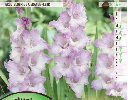 Gladiolus 'Blue Frost' - Gladiool