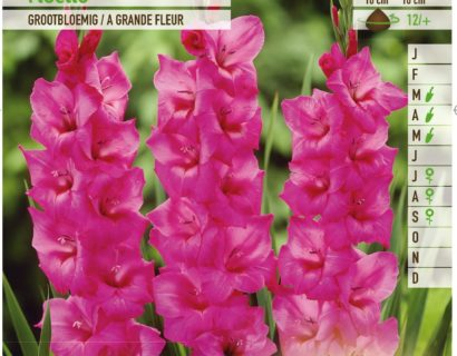 Gladiolus 'Fidelio' - Gladiool