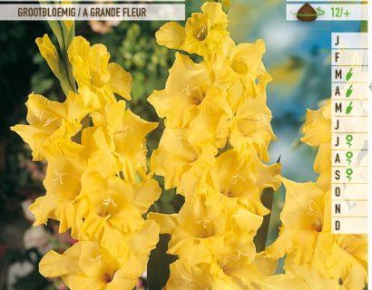 Gladiolus 'Nova Lux' - Gladiool