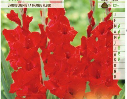 Gladiolus 'Oscar' - Gladiool
