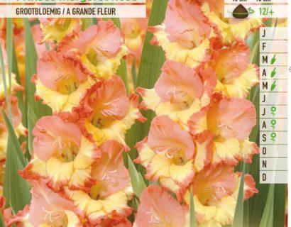 Gladiolus 'Princess Margaret Rose' - Gladiool