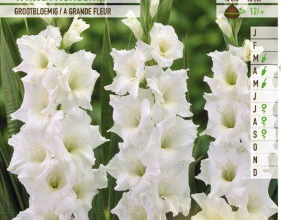 Gladiolus 'White Friendship' - Gladiool