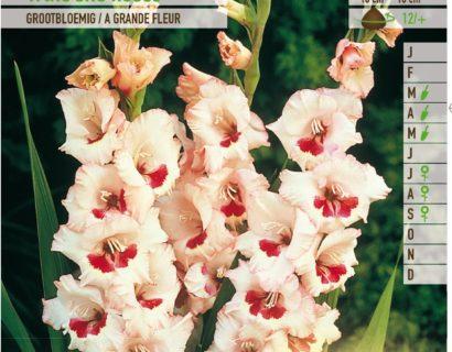 Gladiolus 'Wine and Roses' - Gladiool