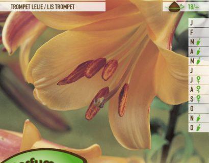 Lilium 'African Queen' - Trompetlelie