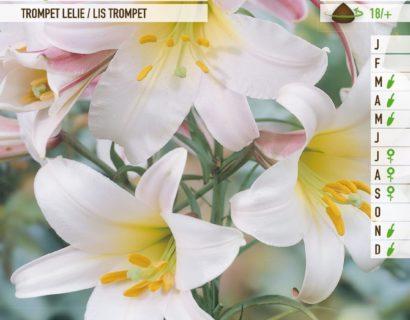 Lilium 'Regale' - Koningslelie