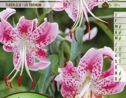 Lilium 'Speciosum Rubrum' - Tijgerlelie