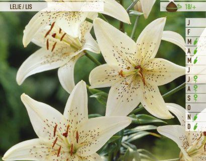 Lilium 'Sterling Star' - Aziatische Lelie