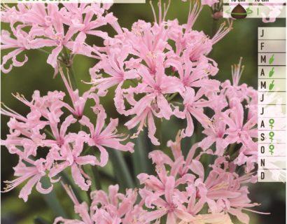 Nerine bowdenii - Kliplelie