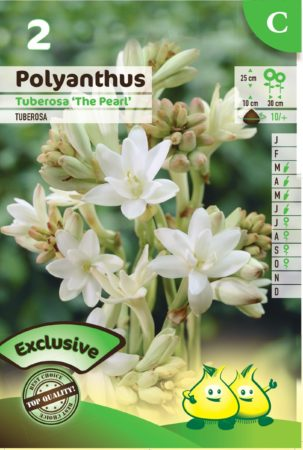 Polyanthus tuberosa 'The Pearl' - Tuberoos