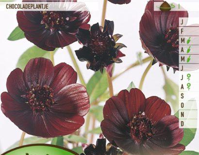 Cosmos atrosanguineus - Chocoladeplant