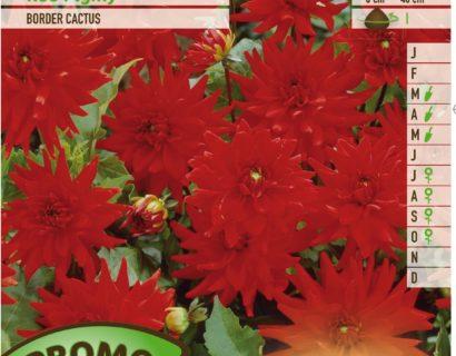 Dahlia 'Red Pigmy' - Cactusdahlia
