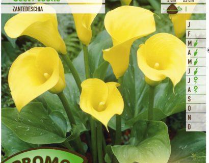 Calla geel - Gele Aronskelk