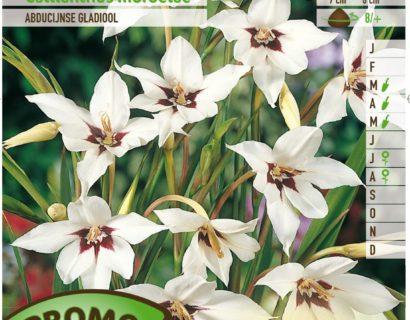 Acidanthera murielae - Abessijnse Gladiool