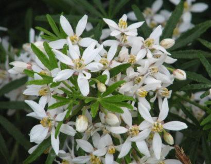 Choisya ternata 'White Dazzler' - Mexicaanse oranjebloesem