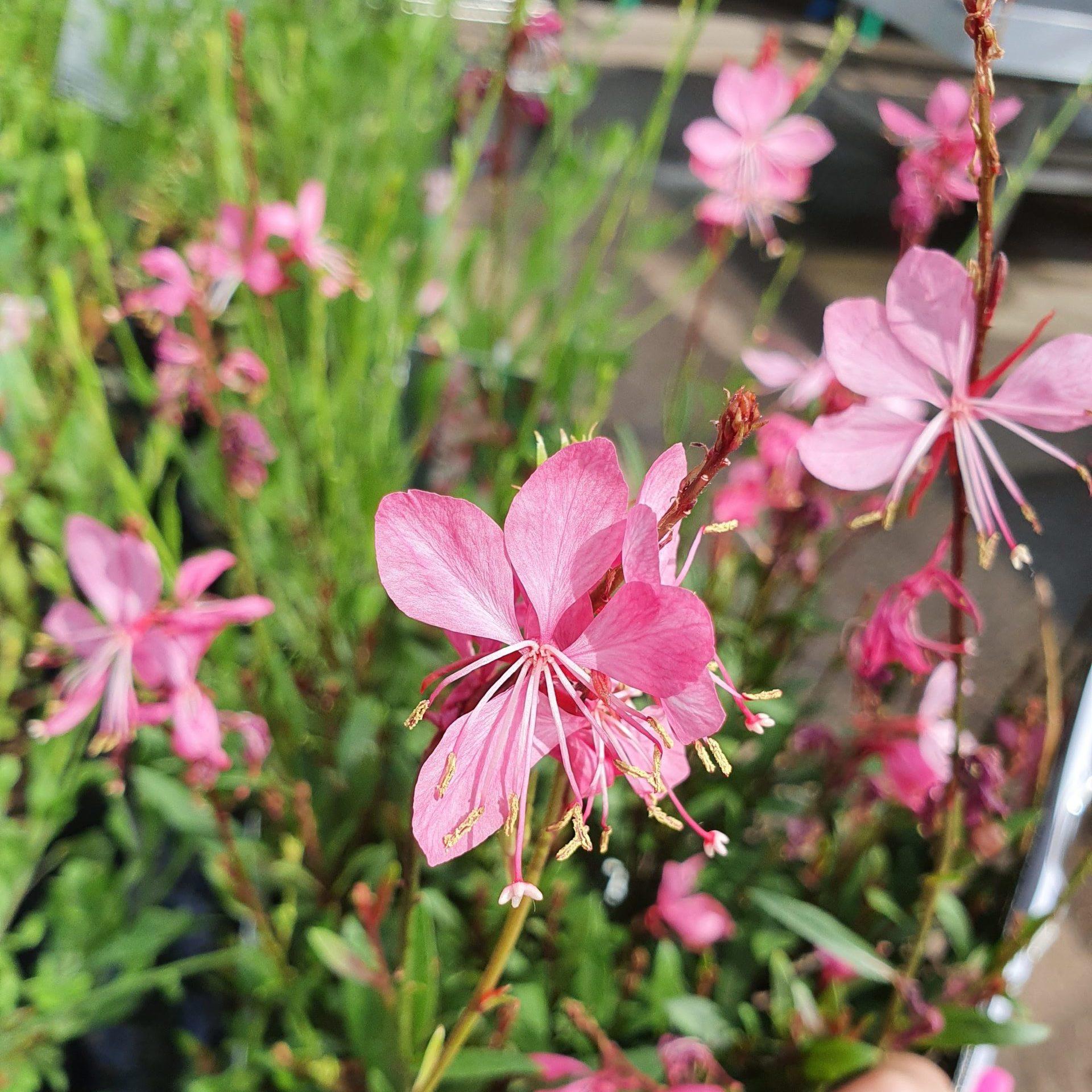 Gaura lindheimeri 'Compact Pink' (grote pot) - Prachtkaars