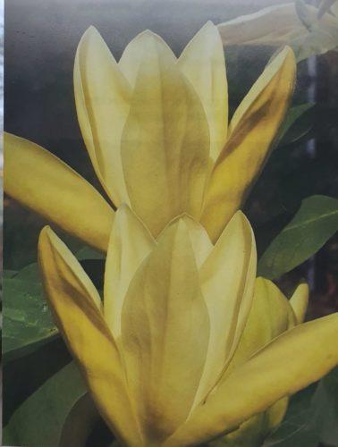 Magnolia 'Daphne' - Beverboom