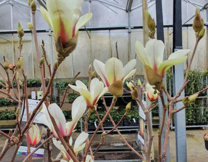 Magnolia 'Sunrise' - Beverboom