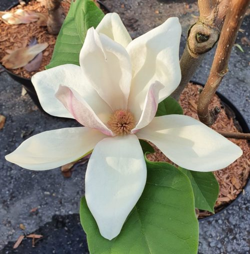 Magnolia 'Sunsation' - Beverboom
