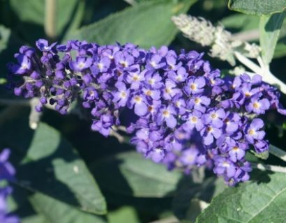 Buddleja 'Free Petite Blue Heaven' - Vlinderstruik