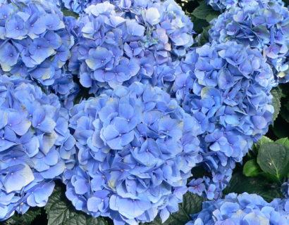 Hydrangea macrophylla 'Little Blue' - Hortensia